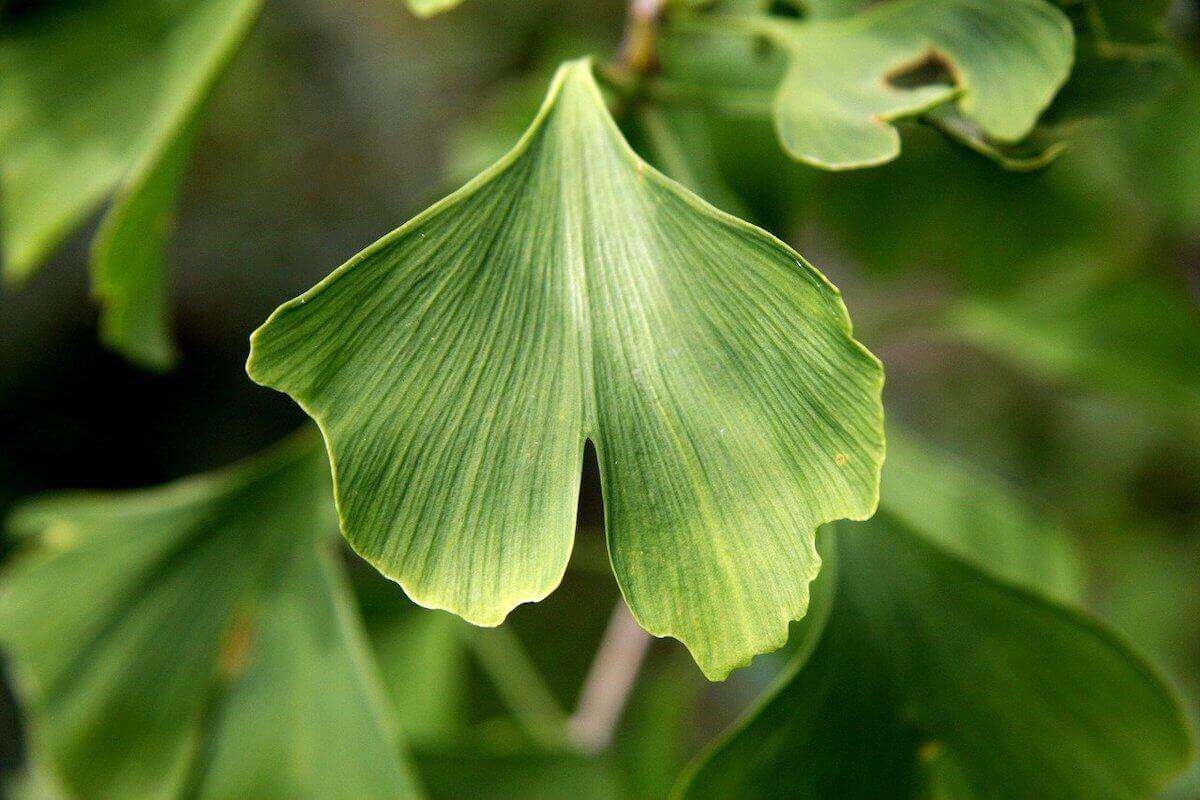 investigar plantas medicinales tradicionales como el ginkgo biloba facilita el descubrimiento de nuevos fármacos