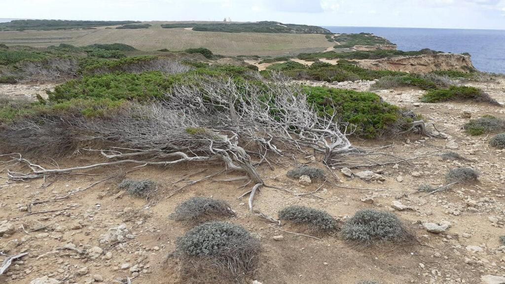 enebro capo mannu, , penisola del sinis cerdeña, notas naturaleas