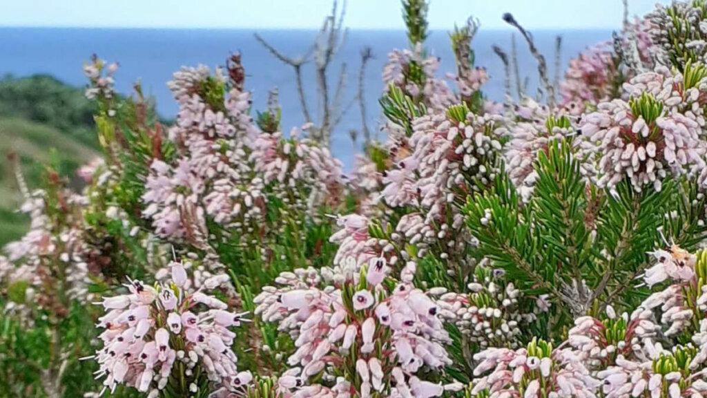 erica multiflora, peninsula de sinis cerdeña, notas naturaleas