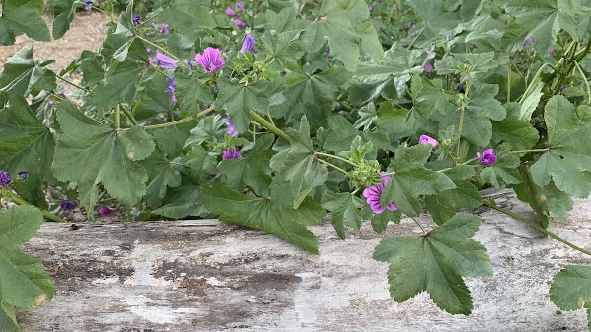 malvas planta