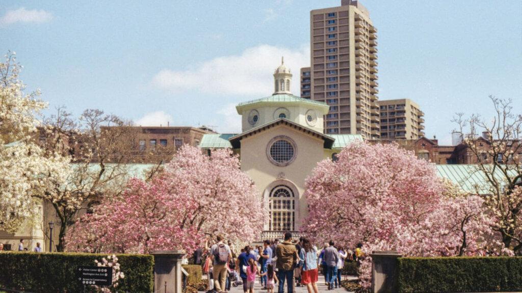 fiesta del cerezo japon, parque de cerezos japon