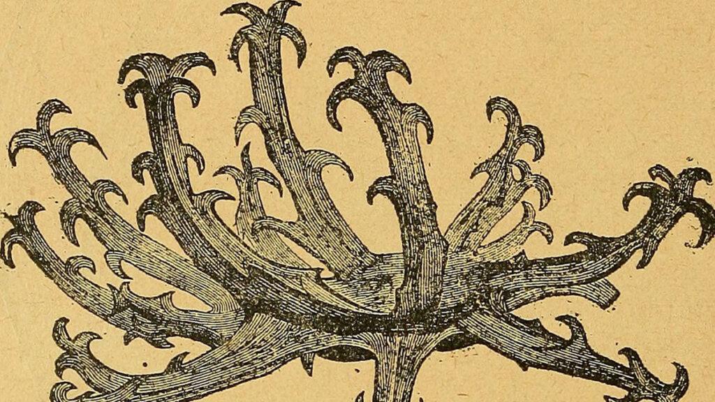 ilustración del fruto del harpagófito