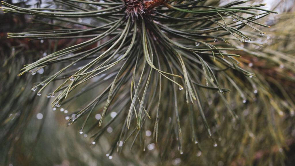 las fitoncidas son sustancia químicas producidas por arboles como el pino de hoja perenne. Durante los baños de bosque estas sustancias son beneficiosas para nuestro sistema inmune