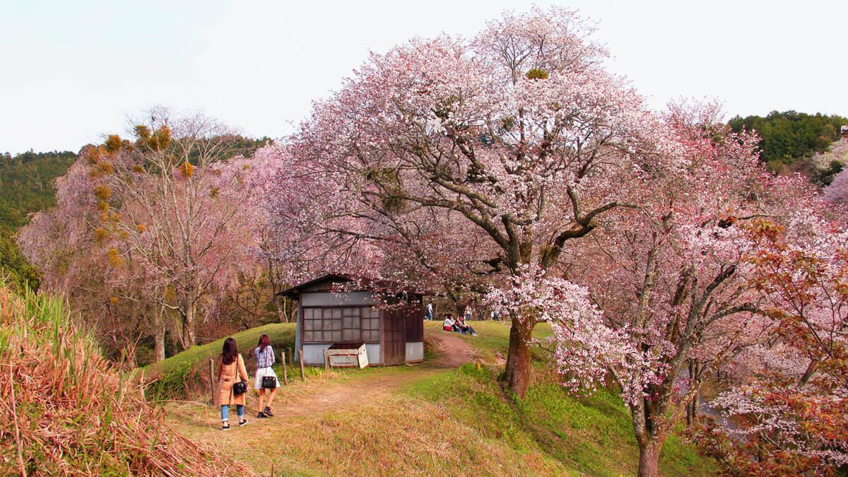 cerezos en flor japon, hanami blossom