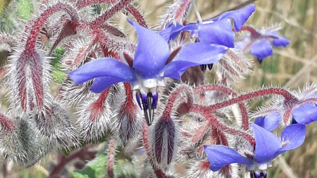 flores silvestres de primavera, flor de borraja