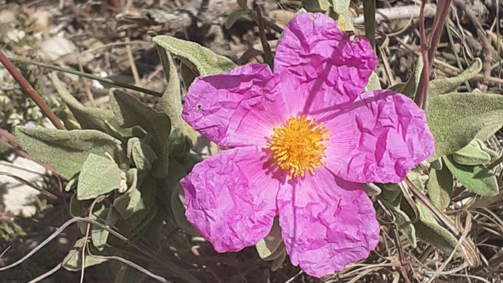 flores silvestres de primavera, jara blanca