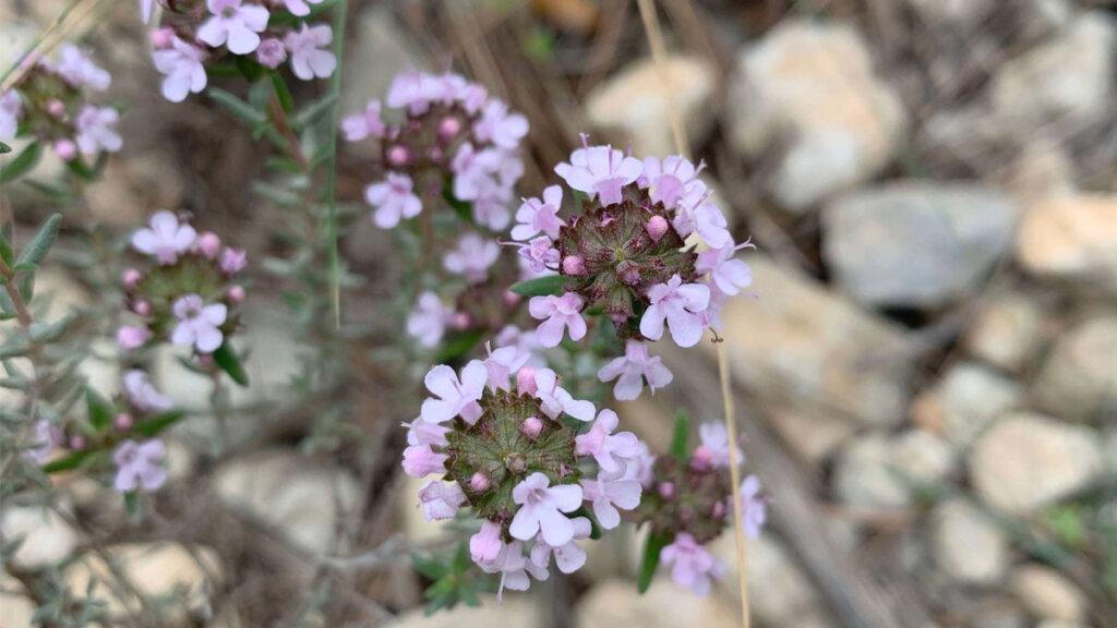 flores silvestres de primavera, tomillo en flor
