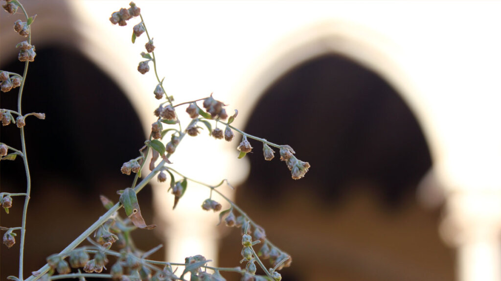 planta medicinal en el Monestir de Pedralbes