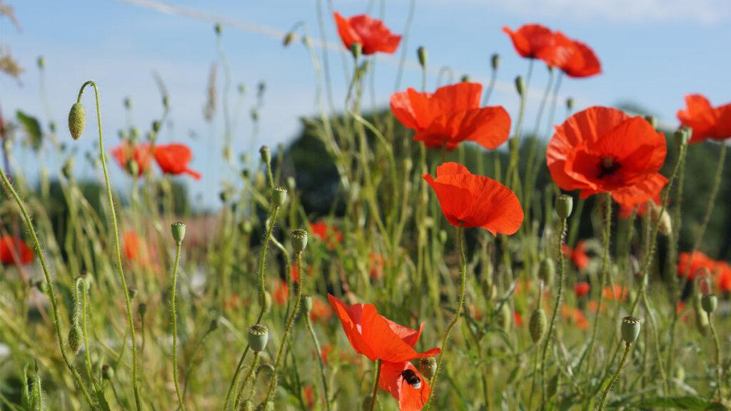 imagenes de hierbas del campo lugar del campo, amapola