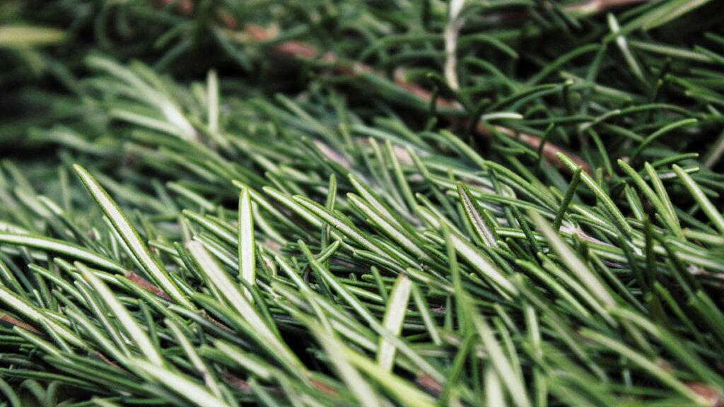 hacer extractos de plantas medicinales, romero