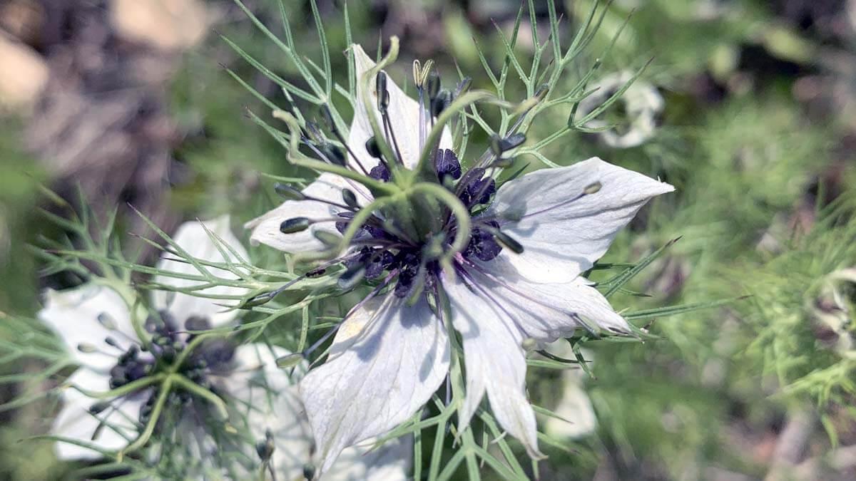 Nigella damascena L, biodiversidad vegetal