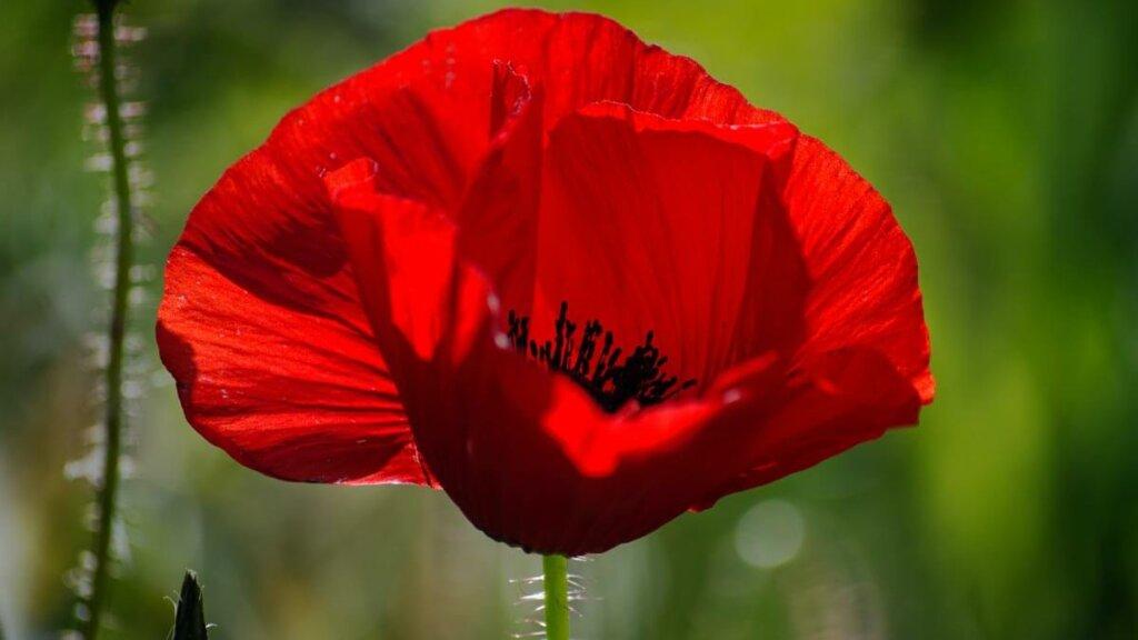 color de las flores de amapola denota abundancia de antocianos