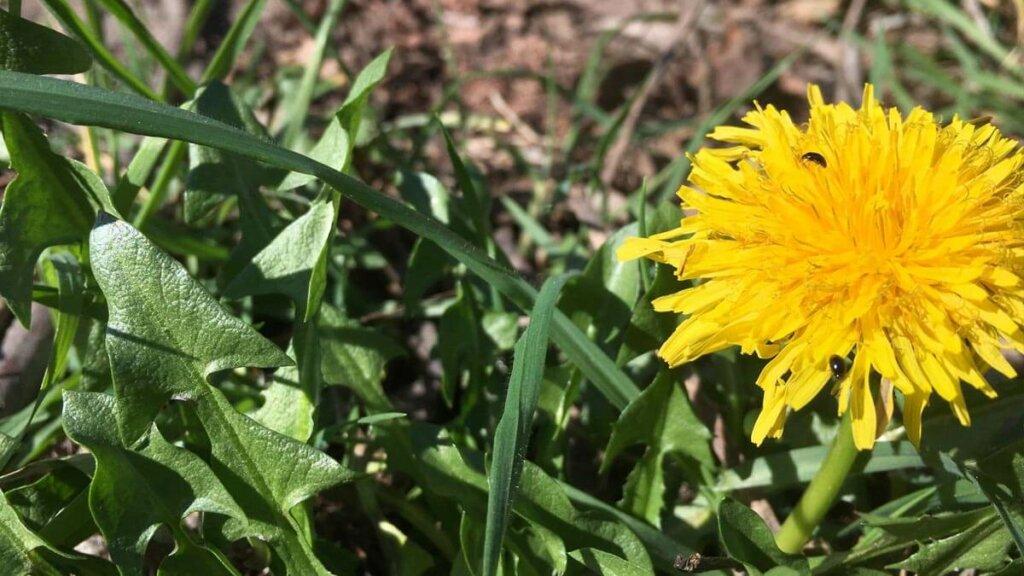 la flor de diente de leon contiene carotenoides