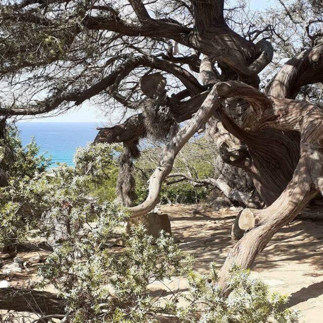 """La casa del poeta - 🧚⠀ ⠀ Como he prometido, iré compartiendo algunos de los lugares que he visitado en Cerdeña en las últimas semanas. Este árbol es un enebro secular (Juniperus phoenicea por lo que he podido entender) y con una historia muy bonita que envuelve este lugar de magia 🌲🧝♀️⠀ ⠀ Así cuentan en el portal @arbusturismo por qué se le llama """"casa del poeta"""" a este maravilloso árbol:⠀ ⠀ ⠀ """"Cerca de la playa de Pistis se encuentra """"La casa del poeta"""", un inmenso enebro transformado en un refugio con vista al mar y las dunas. Este, fue creado hace unos treinta años por un señor de Guspini, que quería que cada extraño dejase dos o tres estrofas de rima al final de su visita. Y los poemas improvisados, de quienes tuvieron la suerte de llegar hasta allí se pueden ver todavía. El """"techo"""" está cubierto con pequeños ramos secos de helichrysum, arbusto aromático típico del Mediterráneo. El tronco principal del enebro separa naturalmente las """"habitaciones"""".⠀ ⠀ ⠀ ⠀ ⠀ ⠀ #plantslove #arbusturismo #VisitCerdeña #cerdeña #sardegna_real #visitsardinia #sardinia_exp #arbol #arboles #naturaleza #madrenaturaleza #paisajeshermosos #paisajesnaturales #enebro #juniperus #notasnaturalesblog"""